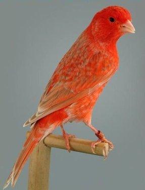 agata-eumo-red-shimmel