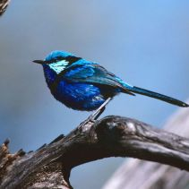 Purple-backed fairy-wren (Malurus lamberti spp. assimilis), male. Palm Valley, Central Australia